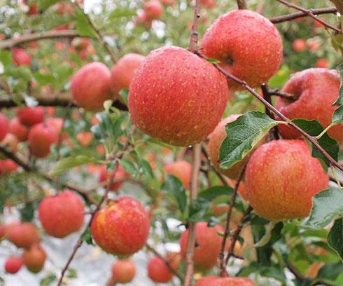 apple_05.jpg
